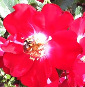 Pink Rose with Bee Spokane Gardens
